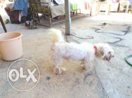 Male bichon 2 years. Vaccinated Very playful Nice dog put your price