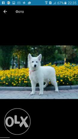 White Berger Shepherd