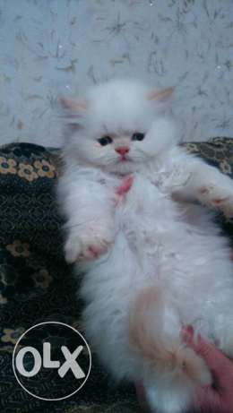 Persian kittens from eukraine with passport and microchip