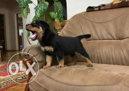 Rottweiler Giant Top Quality