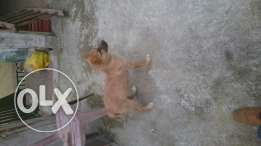 Beautiful lovely playfull dog .the price is for his t3oume 2 months
