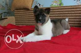 Imported American Akita