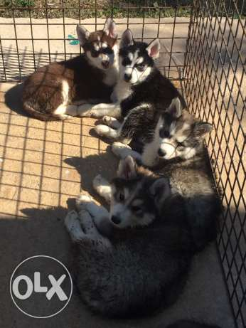 For sale Husky puppies 3 months full vacc+deworm