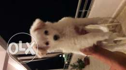 Female loulou spitz 2 month