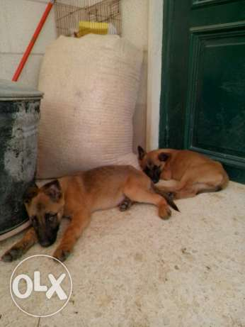 Top malinois puppies