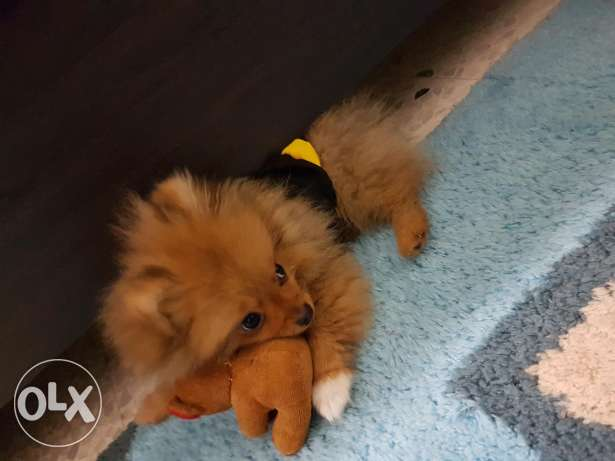 Pomeranian puppy 5 months old female very cute and playable