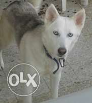 Husky. Female. 2 years old. So smart and beatiful. Vaccinated.
