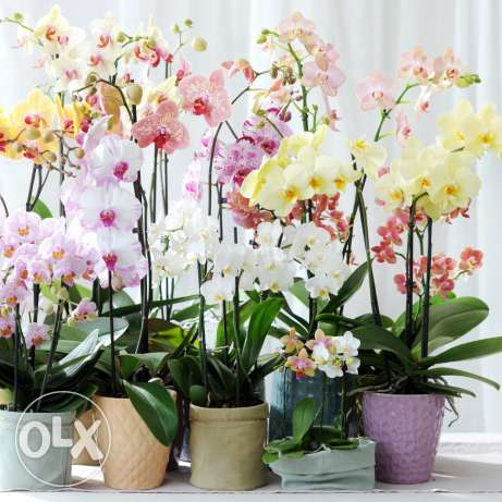 Crazy offer all orchids for only 10$