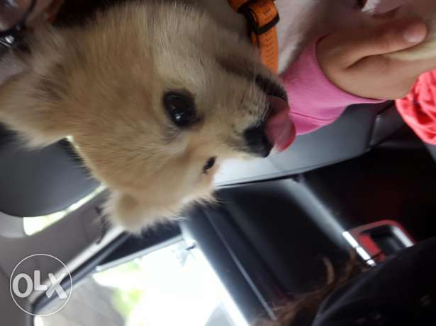 Pomeranian male dog seeking female (not for sale)