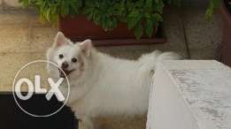 beautifull female lolo for sale 2 yers old