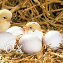 EUROPEAN egg incubators offer 1day