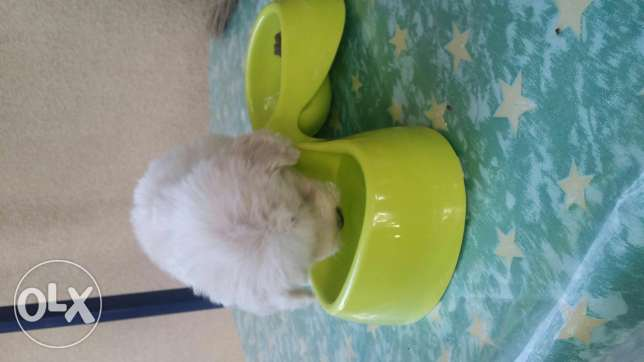 Bichon tea cup for sale with all his accessories..