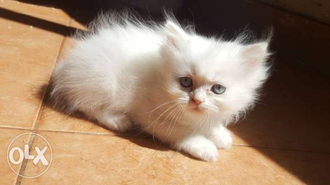 Persian cats 45 days old in tripoli