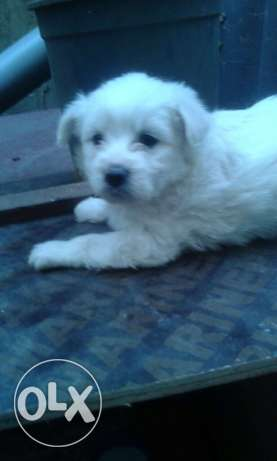 White Bichon puppies for sale ! ضبيه -  7
