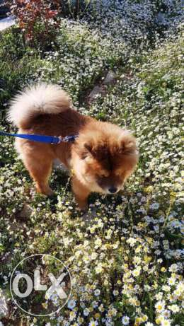 Dog for sale chowchow