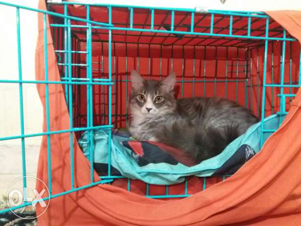 French angora cats for sale