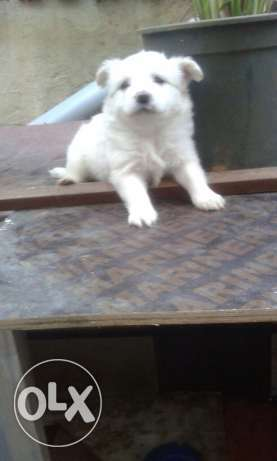 White Bichon puppies for sale ! ضبيه -  3