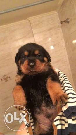 super geant size rottweiler best breed for only 600$