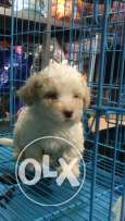 bichon puppies 45 day