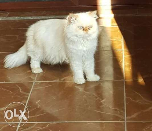 Pure persian for sale 150$