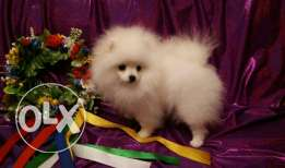 Pomeranian male puppy