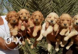 best golden puppies arrived to lebanon