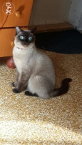 Siamese cat one year half.female.freindly.
