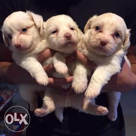white bichon puppies