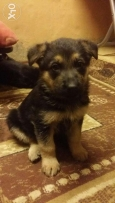 German Shepherd pure 43 day