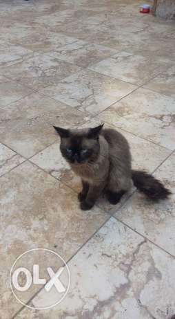 cat for sale Mta3am w kteer ndeef bado 3eneye الشوف -  1