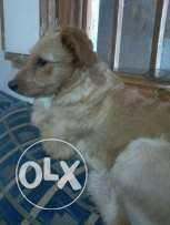 dog for sale 100 alef
