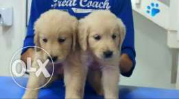 Puppies golden retriver for sale