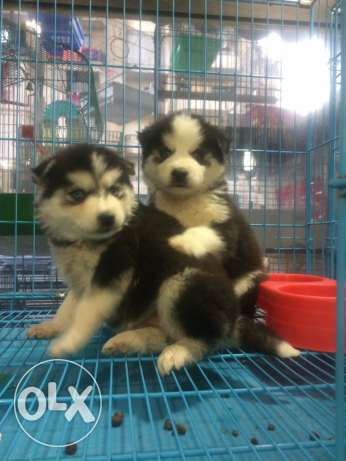 husky sibirien puppies blue eyes long hair