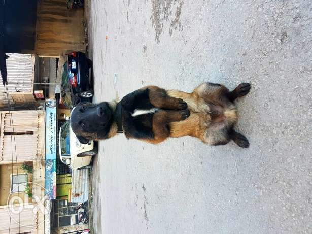 Malinois Very great quality