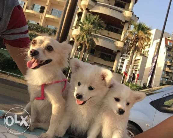 Loulou puppies for sale بعبدا -  2