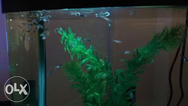Guppy fish only - not with aquarium tank