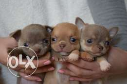 Imported Chihuahua puppies