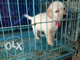 Puppies labrador for sale