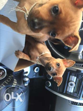 Mini pinscher 2 month old for sale male& female