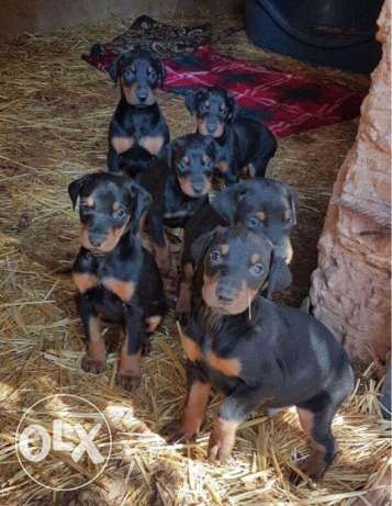 Pure doberman puppies for sale