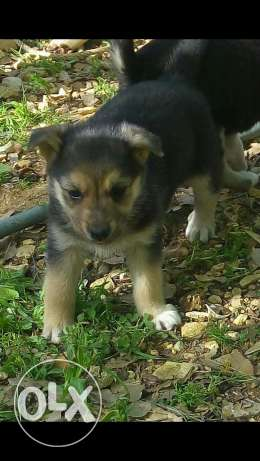 German shepherd/husky mix puppy