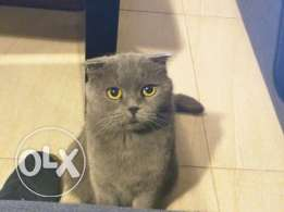 Scottish fold mom and son,equipments, scratch pole, litters and toys