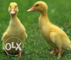 baby duck for sale