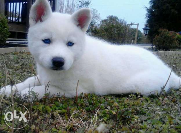 Siberian husky full white 2 month old blue eyes playful and friendly