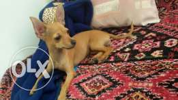 Mini pinscher female للتزاوج