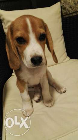 Beagle 3 months old 500$