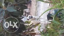 Dogs Berger malinois for sale