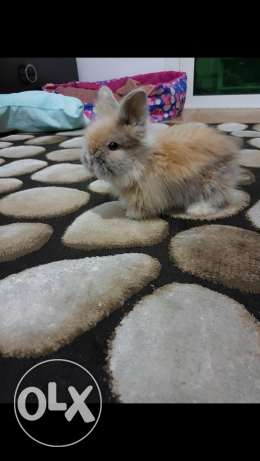 Lion head rabbit for sale