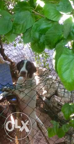 pointer dogs hunting dog كلب صيد puppy for sale
