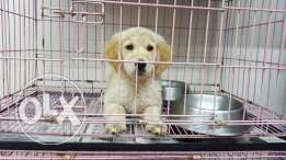 Cute golden retriever puppy imported
